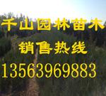 出售山東營養袋側柏苗 50-80公分側柏小苗