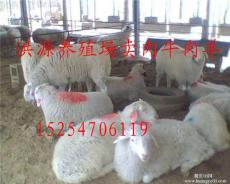 河南養羊河南小尾寒羊養殖場