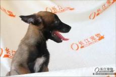 岳阳纯种马犬幼犬 长江宠物繁殖基地