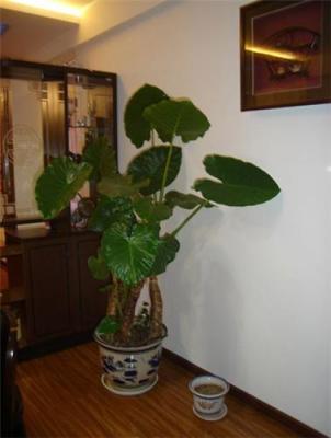 室内风水植物滴水观音的作用