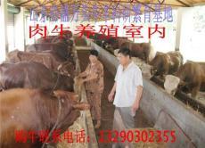 山東青島肉牛犢多少錢一頭