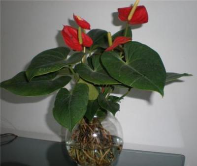 花卉租赁中常见的水培植物有哪些