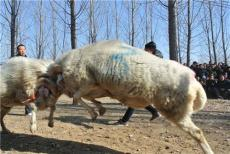 山东梁山小尾寒羊价格最低小尾寒羊规模养殖