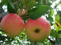 山东哪里的嘎啦苹果质量好价格低