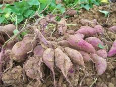 紫薯种植基地