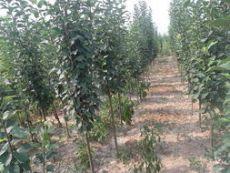 信譽最好的八棱海棠樹種植基地是哪