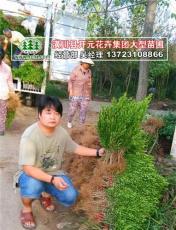 豆瓣黄杨哪里最便宜