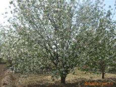 河北供應15公分18公分八棱海棠樹苗圃直銷