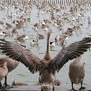 朗德鹅养殖孵化场