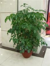 长沙盆景出租室内植物租赁办公室植物租赁