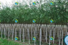 竹柳平均胸径可达15公分以上