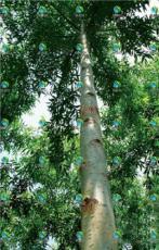 竹柳是经济价值非常高的速生树木