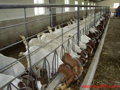 什么牛好养 不易生病的波尔山羊 青山羊