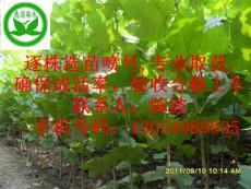 賣河南濮陽法桐 3米半法桐的圖片