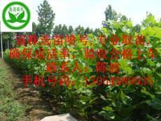 賣河北邢臺法桐 1公分2公分3公分4公分法桐